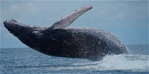 Avistamiento de ballenas en Chocó