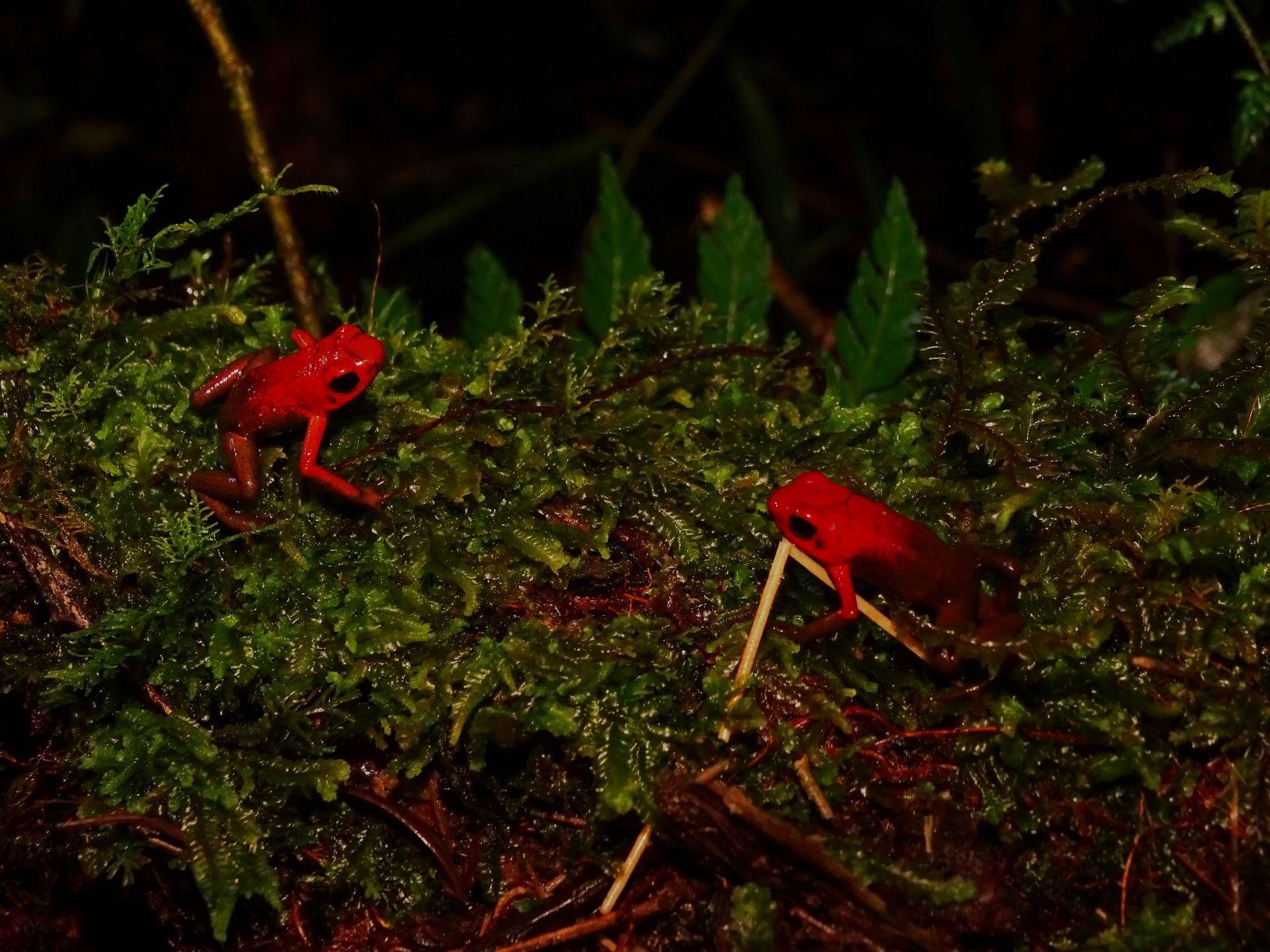 ranas selva de florencia Samaná